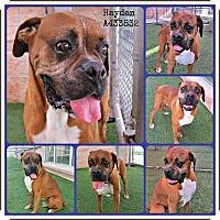 Adopt A Pet :: Mr. Hayden - Austin, TX