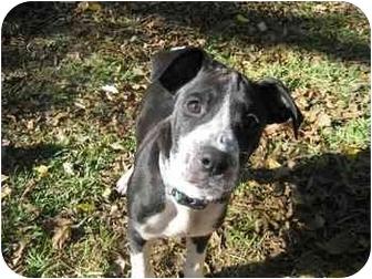 Boxer/Labrador Retriever Mix Puppy for adoption in Thomasville, Georgia - Snoopy