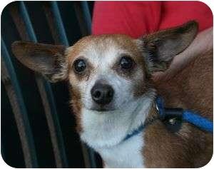 Chihuahua Mix Dog for adoption in Canoga Park, California - Star
