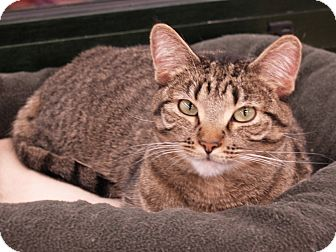 Domestic Shorthair Cat for adoption in Fountain Hills, Arizona - VALENTINA
