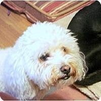 Adopt A Pet :: Boogie Woogie - Chandler, AZ