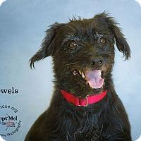 Adopt A Pet :: Jewels - Phoenix, AZ