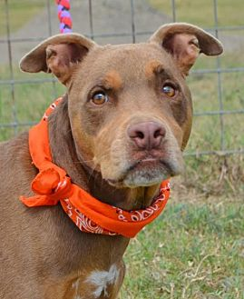 Terrier (Unknown Type, Medium)/Hound (Unknown Type) Mix Dog for adoption in Liverpool, Texas - CoCo  **Video**
