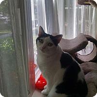 Adopt A Pet :: Lyric - Laguna Woods, CA