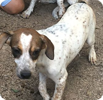 Beagle/Blue Heeler Mix Dog for adoption in Allentown, Pennsylvania - Janga