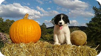 Great Pyrenees/Border Collie Mix Puppy for adoption in Attalla, Alabama - Jolene