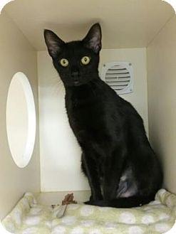 Domestic Shorthair Cat for adoption in Gloucester, Massachusetts - Luna