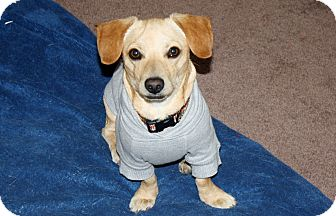 Dachshund/Terrier (Unknown Type, Small) Mix Dog for adoption in Bellflower, California - Chance - I love to play!
