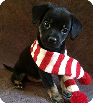 Pug/Dachshund Mix Puppy for adoption in Kittery, Maine - Noel