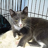 Domestic Shorthair Cat for adoption in Cottonport, Louisiana - Smokey