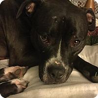 Adopt A Pet :: Diamond AKA Luna - Garden City, MI