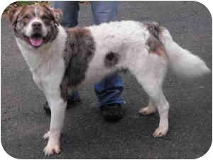 Australian Shepherd Mix Dog for adoption in Raymond, New Hampshire - Bailey