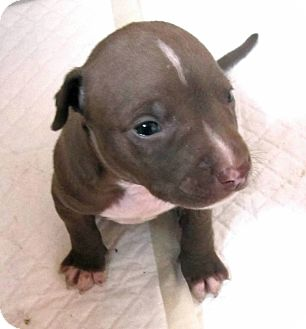 American Pit Bull Terrier Mix Puppy for adoption in Copperas Cove, Texas - Libery's Cisco