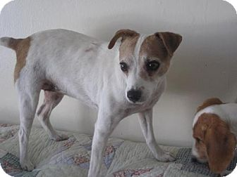 Jack Russell Terrier Dog for adoption in Atascadero, California - Molly