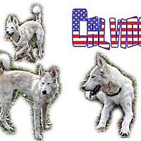 Adopt A Pet :: Calvino - Seminole, FL