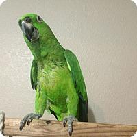 Adopt A Pet :: Tooty - Burleson, TX