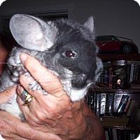 Adopt A Pet :: Chloe - Avondale, LA