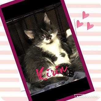 """Domestic Shorthair Kitten for adoption in Mount Laurel, New Jersey - Kirin """"6 pack litter"""""""