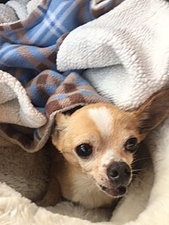 Chihuahua Dog for adoption in Ardmore, Oklahoma - Buster Brownn