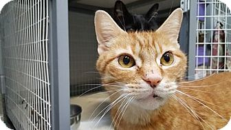 Domestic Shorthair Cat for adoption in Bloomfield, New Jersey - LARRY