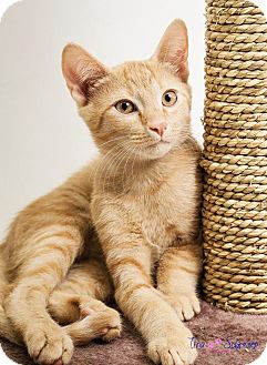 American Shorthair Kitten for adoption in Big Canoe, Georgia - Buffy