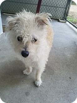 Cairn Terrier/Norwich Terrier Mix Dog for adoption in Umatilla, Florida - Suzie
