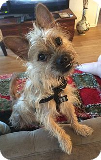 Yorkie, Yorkshire Terrier/Brussels Griffon Mix Dog for adoption in Thousand Oaks, California - Winston