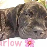 Adopt A Pet :: Harlow - Boca Raton, FL