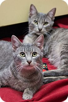 Domestic Shorthair Cat for adoption in Chicago, Illinois - Pee Wee and Stripes