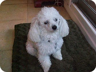 Poodle (Toy or Tea Cup) Dog for adoption in Studio City, California - Monte