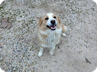 Collie/Spaniel (Unknown Type) Mix Dog for adoption in CHICAGO, Illinois - CHLOE