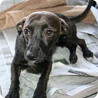 Adopt A Pet :: Kelly - Canoga Park, CA