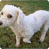 Adopt A Pet :: Lamb Chop - Phoenix, AZ