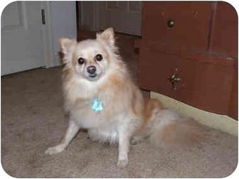 Pomeranian Dog for adoption in Chesapeake, Virginia - Peaches