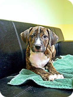 Pit Bull Terrier/Hound (Unknown Type) Mix Puppy for adoption in Philadelphia, Pennsylvania - Grady