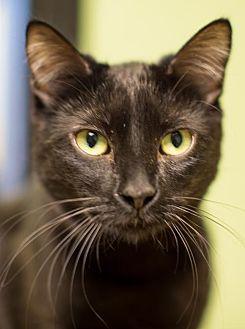 Domestic Shorthair Cat for adoption in Auburn, California - Onyx