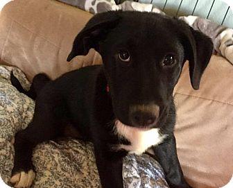 Hound (Unknown Type)/Labrador Retriever Mix Puppy for adoption in Sacramento, California - Teddy!