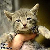 Adopt A Pet :: DIPPY - Conroe, TX