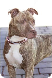 American Pit Bull Terrier Mix Dog for adoption in phoenix, Arizona - Sahara