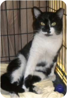 Domestic Shorthair Cat for adoption in Forest Hills, New York - Hearts