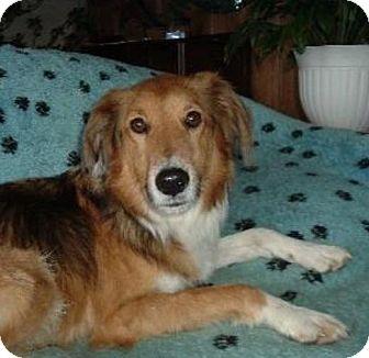 Sheltie, Shetland Sheepdog Mix Dog for adoption in Indiana, Indiana - Eric Spencer