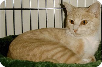 Domestic Shorthair Cat for adoption in Medway, Massachusetts - Belle