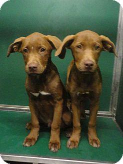 Labrador Retriever/Hound (Unknown Type) Mix Puppy for adoption in Huntsville, Alabama - Hersey