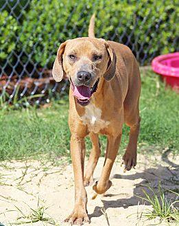 Labrador Retriever/Vizsla Mix Dog for adoption in Orange Lake, Florida - Sallie