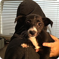 Adopt A Pet :: Chelsie - North Hollywood, CA