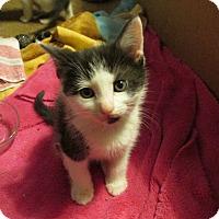 Adopt A Pet :: LAMBERT - Acme, PA