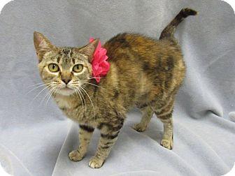 Domestic Shorthair Cat for adoption in Lexington, North Carolina - Victoria