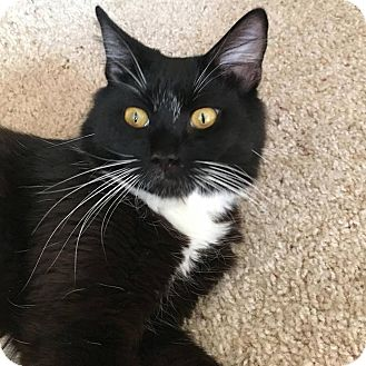 Domestic Mediumhair Cat for adoption in Los Angeles, California - Junie
