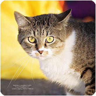 Domestic Shorthair Cat for adoption in Cincinnati, Ohio - Minnie- WAIVED FEE