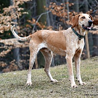 Adopt A Pet :: Willie - Westminster, MD